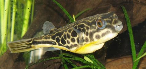 list  brackish aquarium fish species