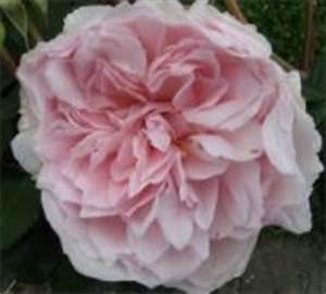 Alte Rosensorten Stark Duftend : rosensorten duftrosen lo l 39 oiseau chanteur lochinvar ~ Michelbontemps.com Haus und Dekorationen