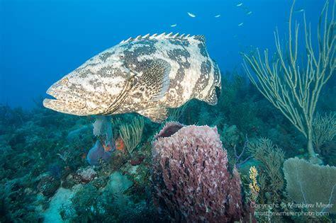 grouper cuba goliath fish barrel purple coral reef sponge swimming gardens queen above