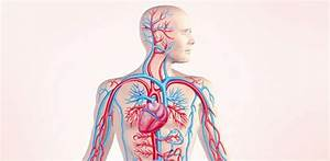 Top Circulatory System Quizzes  Trivia  Questions