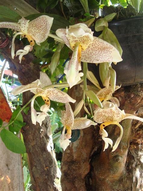 Orquídeas HElid: Stanhopea Oculata