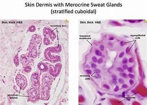 Skin - Merocrine Sweat Glands