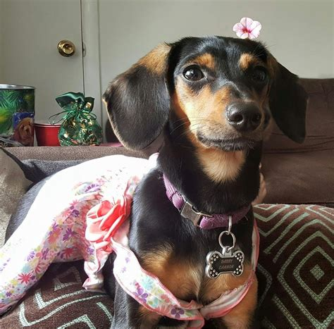 cheaglehund chihuahua  beagle  dachshund mix info