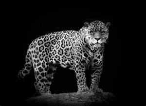 Black Jaguar Wallpapers - Wallpaper Cave