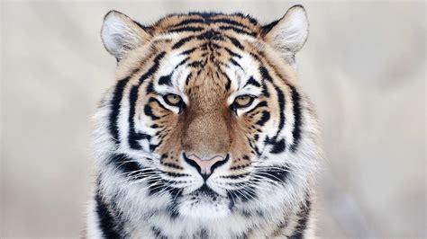 Tiger Wallpapers Best