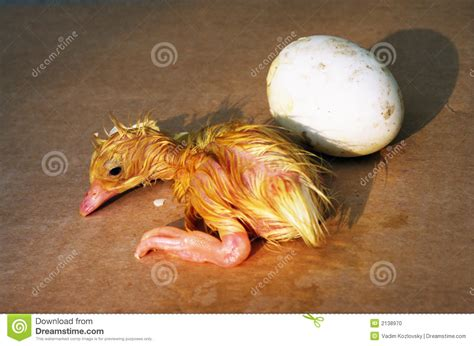 newborn duck stock photo image  soft isolated card
