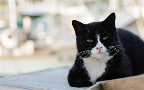 black and white cats black and white cat with green eyes wallpapers and images wallpapers pictures photos