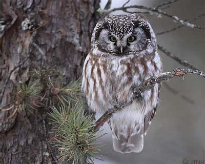 christian artuso birds wildlife boreal owl portrait