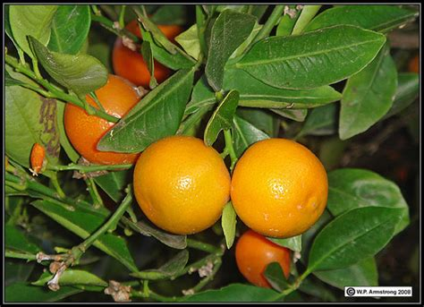 orange hybrid fruit citrus fruit photos
