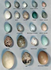 Egg Size Chart Pin By Liz Miles On Bird Eggs Bird Eggs