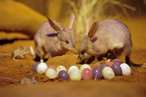 Bunnies Or Bilbies Why Animals Define Easter