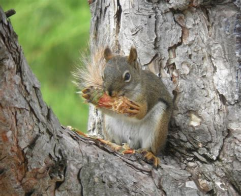 wild birds unlimited what american red squirrels eat