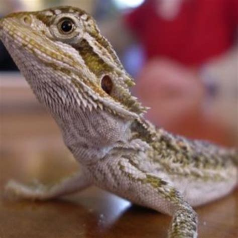 Find images of bearded dragon. Amazon.com: Bearded Dragon Wallpaper -- HD Wallpapers of Bearded Dragons!: Appstore for Android