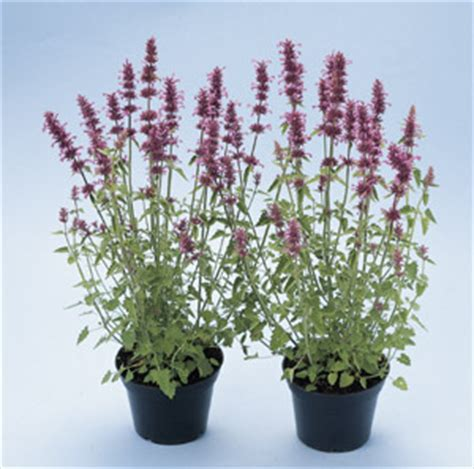 jims favorite agastache flower garden seeds