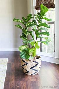 fiddle fig tree Attempting to Have a Green Thumb + Recent Finds - Erin Spain