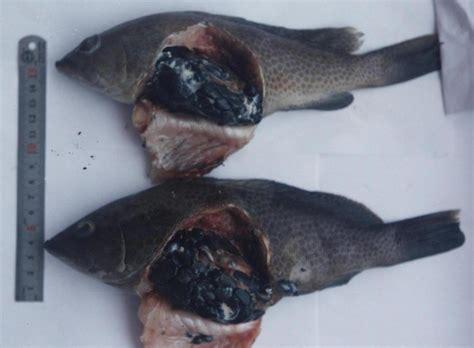 grouper parasite epinephelus aquat microsporidium humoral immune responses dis against 2005