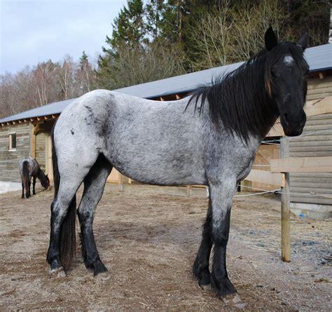 nokota roan horse rare star horses breeds animals bluebell wild breed indian saving she most summer
