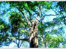 El Bálsamo, el otro árbol nacional de El Salvador El