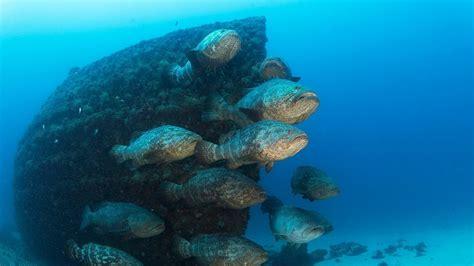 grouper juvenile goliath change