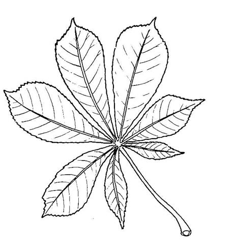 sycamore leaf outline coloring home