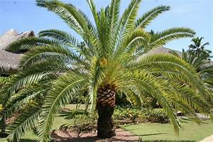 La Palma Jardin : palmeras para el jard n guia de jardin ~ A.2002-acura-tl-radio.info Haus und Dekorationen