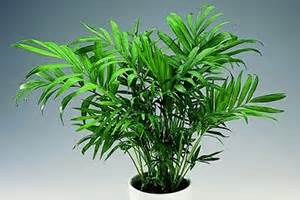 is bamboo toxic to cats bamboo palm aspca