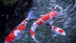 koi, fish, wallpapers, , u00b7, u2460, wallpapertag