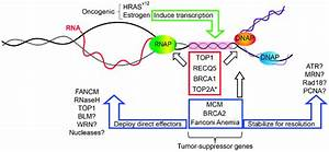 DNA replication fork protection factors mitigating ...