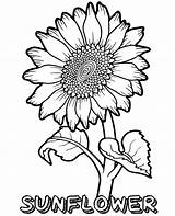 Sunflower Coloring Pages Flower Printable Flowers Topcoloringpages Summer Sheets Coloringfolder Adult Whitesbelfast Credit Save Plant Fun sketch template