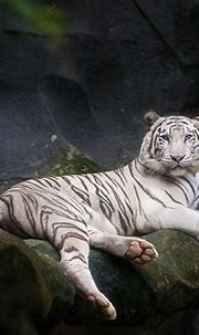 White tiger | White tiger sit in cave, animal and zoo ...