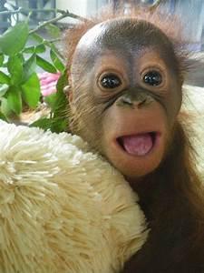 143 best images about orangutan on Pinterest