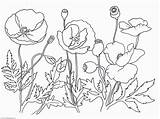 Poppy Coloring Flower Poppies Drawing Remembrance Printable Template Sketch Clipart Getdrawings Library Coloringhome sketch template