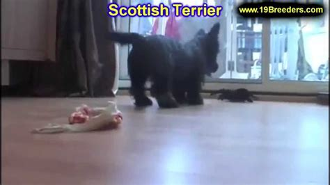 Scottish Terrier, Puppies, Dogs, For Sale, In Louisville ...