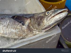 Close View Indopacific King Mackerel Spotted Stock Photo ...