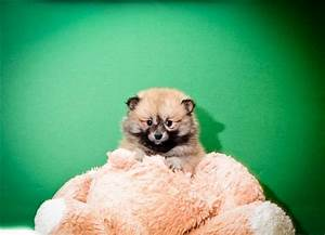 Black and Tan Pomeranian Puppy | Puppies and Kittens ...