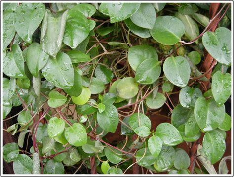 manfaat daun binahong resep menggunakannya