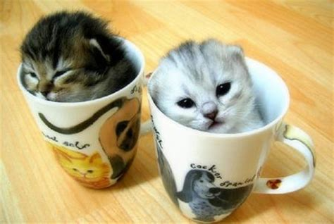 kittens in some cups animal humor photo 45323 fanpop