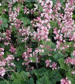 Secret Spring Kissen : heucherella tiarelloides kissen purpurgl ckchen winter yard pinterest garten pflanzen ~ Eleganceandgraceweddings.com Haus und Dekorationen
