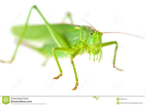 green grasshopper royalty  stock photography image