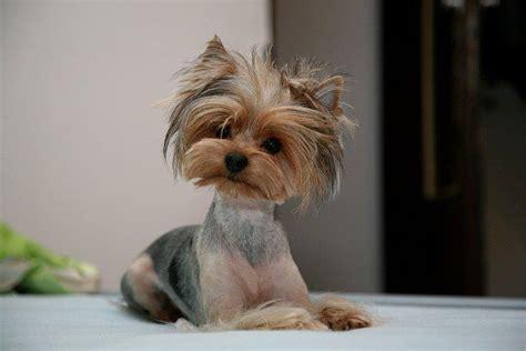 yorkshire terrier haircut hairstyles ideas