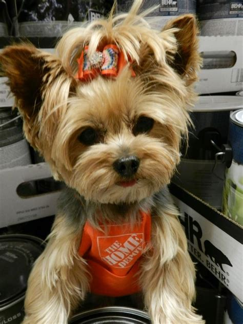 yorkie   figure   yorkies pinterest
