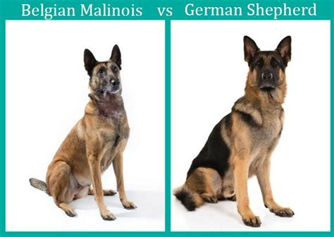 malinois vs german shepherd the ultimate comparison woof