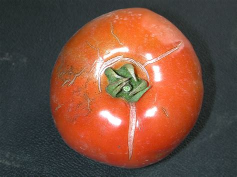 http://www.omafra.gov.on.ca/IPM/english/tomatoes/diseases-and-disorders/fruit-cracking.html