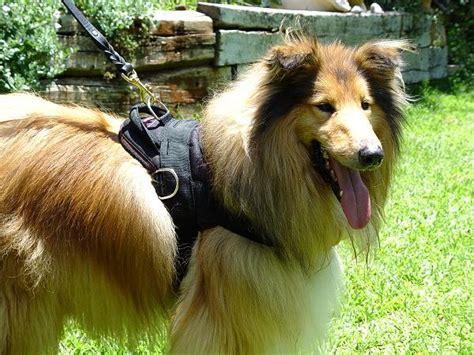 collie dog harness dog collar dog leash dog muzzle dog training equipment  trusted