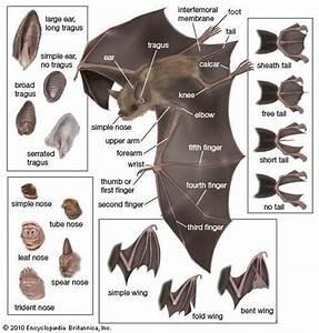 Isle Of Wight Bat Hospital Interesting Diagram Showing The Anatomy Of A Bat