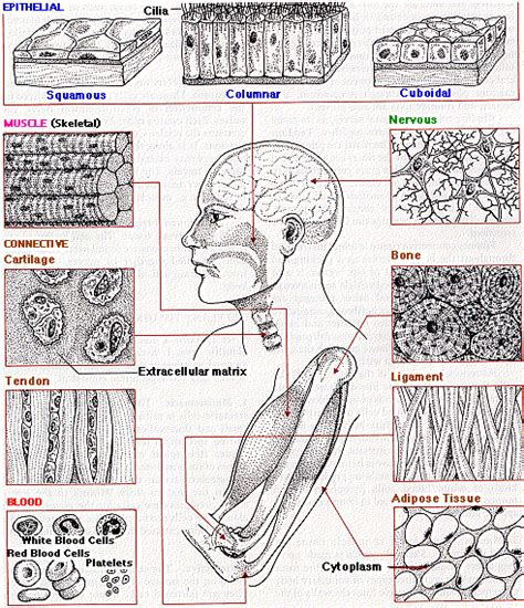 Multiple Choice Quiz On Animal Tissues  Biology Multiple Choice Quizzes