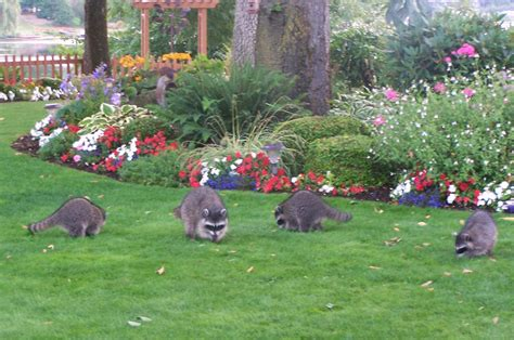 Raccoon Backyard by Flpoa 187 2011 187 August