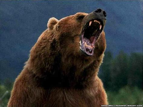 grizzly bear backgrounds wallpaper cave