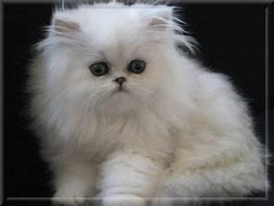 White Chinchilla Cat | www.pixshark.com - Images Galleries ...