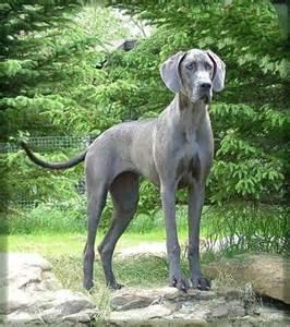 Blue Great Dane Dogs